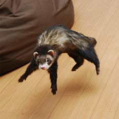 The Weasel War Dance.  Basically a ferret with an invisible pogo stick on Ecstasy.