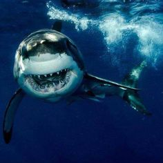 """Large Male Great White in Full """"Happy Face"""" Attack Mode Orcas, Save The Sharks, Species Of Sharks, Shark Pictures, Shark Bait, Underwater Life, Great White Shark, Ocean Creatures, Tier Fotos"""