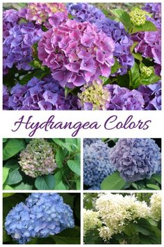 hydrangea colors Hydrangea Bush, Hydrangea Colors, Hydrangea Care, Hydrangea Flower, Growing Hydrangea, Garden Quotes, Beautiful Flowers Garden, Home Landscaping, Propagation