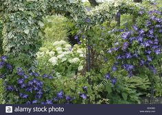 English ivy, common ivy (Hedera helix 'Glacier', Hedera helix Glacier), with Clematis and hydrangea Stock Photo Hedera Helix, Hydrangea Landscaping, Clematis, Ivy, English, Stock Photos, Landscape, Garden, Plants