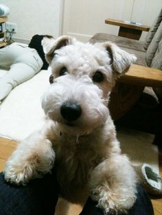 Lakeland terrier  I want to play!