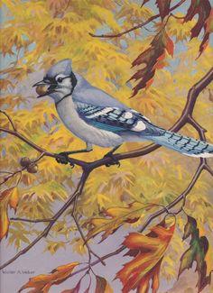 Blue Jay. Walter A. Weber vintage 1933 Bird art.