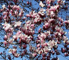From the pinner: magnolia.  Need one of these.  Granny used to call it a tulip tree.