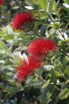 Pohutukawa, NZ's christmas tree, flowers beautifully in the summer. Summer Flowers, Red Flowers, Beautiful Flowers, Hydrangea Bloom, Small Front Gardens, Modern Pergola, Shade Trees, How To Level Ground, Amazing Gardens