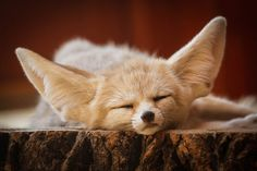 Fennec Fox by nicolascroce - Nicolas Croce Battle Of New Market, Louisiana Purchase, Concours Photo, Fennec Fox, National Cemetery, Royal Academy Of Arts, Art Society, Glitter Graphics, White Fox