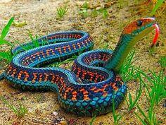 California Red-Sided Garter Snake via Pixdaus