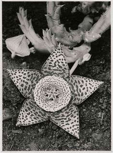 "Exhibition: 'Albert Renger-Patzsch: Things' at Jeu de Paume, Paris. ""I suspect that the idea the Renger-Patzsch was working with is that beauty is truth, and truth is beauty."" Photo: Albert Renger-Patzsch (1897-1966) 'Stapelia variegata, Asclepiadaceae' 1923"
