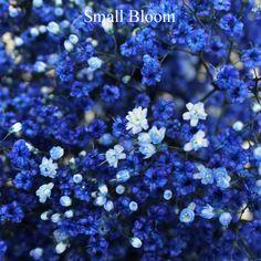 blue tinted million star malima closeup 350 4d95d9eb