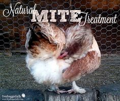 Mites - Natural Prevention and Treatment for your Chickens | Fresh Eggs Daily®