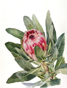 Tu recepcja — Botanical watercolors by Rachael Barkess Illustration Botanique, Plant Illustration, Watercolor Illustration, Protea Art, Protea Flower, Botanical Flowers, Botanical Prints, Watercolor Plants, Watercolor Art