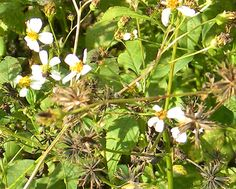 Florida Survival Gardening: Survival Plant Profile: Shepherd's Needle - was once thought of as a weed - leaves are edible and have medicinal properties