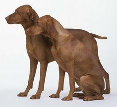 Vizslas - we think this might be what Rusty is