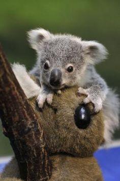1000 Images About Precioso On Pinterest Koalas Baby