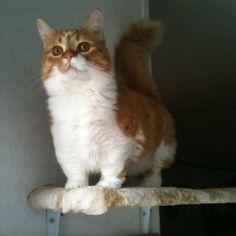 Harley-Munchkin cat.