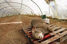 Aid el-kébir: 300 moutons sauvés par la Fondation Brigitte Bardot