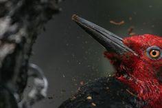 Este carpintero se apareció en las cercanías del Campamento Los Guardas en Torres del Paine. Fue impresionante poder acercarme tanto al ave sin que se fuera volando. (Maurice Dides)