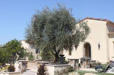 14 best olive trees images in 2015 olive tree landscape - Olive garden fayetteville arkansas ...