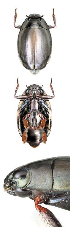 Gyrinidae gen. sp