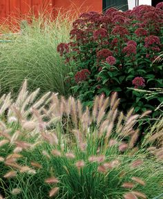 Combine color and texture: Delicate grasses, like 'Morning Light' miscanthus and 'Cassian' dwarf fountain grass, highlight the bold 'Little Joe' Joe Pye weed.