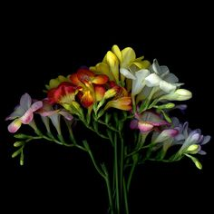 FOR DADS… LET ME COLOUR YOUR DAY… FREESIAS by Magda Indigo - Photo 216570025 / 500px