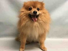 CHARLIE – A1101049 *OWNER SURR*   MALE, TAN, POMERANIAN MIX, 8 yrs OWNER SUR – AVAILABLE, Reason MOVE2PRIVA