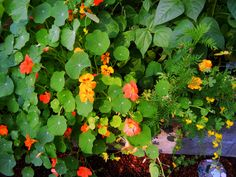 Spectacular nasturtiums and marigolds around the edge of the cinderblock garden this year. Mid-July, 2012.