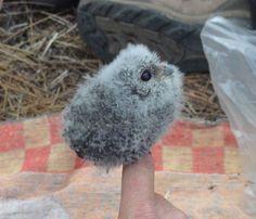 bebeh owl.