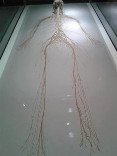 Here is the central and peripheral nervous system of a human being.