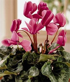 Cyclamen care, with this info I hope to keep this years cyclamen . They are so beautiful I buy one every year I thought they must have been an annual as they always die on me !