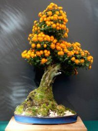 Although not as popular in the West as bonsai, Chrysanthemum bonsai are popular in Japan, and like azaleas, often have their own exhibits. Flowering Bonsai Tree, Japanese Bonsai Tree, Bonsai Trees, Bonsai Art, Bonsai Garden, Miniature Trees, Growing Tree, Ikebana, Tree Art