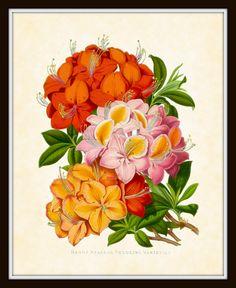 Antique Botanical Art Print - Magazine of Botany Series - Plate 2 - Azaleas  - 1882 1