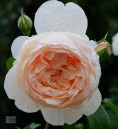 'Lichfield Angel' | Shrub. English Rose Collection. David C. H. Austin, 2005 | Flickr - © Ingrid Van Streepen
