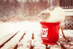 Calhoun, the winter Walgreens rat. (Dean Ruben.) Tags: winter red pet snow cute rodent rat walgreens job
