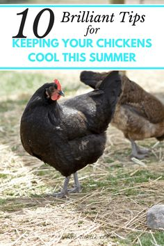Trying to find ways to help your backyard chickens, ducks, and other poultry beat the heat? These 10 tips will help them cool off in no time.