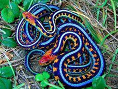 California Garter Snake