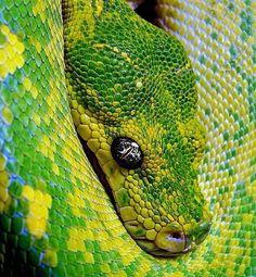 "Polubienia: 560, komentarze: 3 – Green Tree Pythons  (@greentreepythons) na Instagramie: ""Follow @greentreepythons for more pictures  Credit: Markus Viri #greentreepython #gtp #chondro…"""