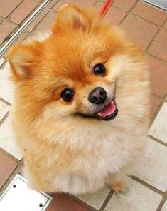 pomeranian dog trust