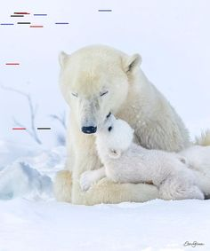 """Eric Gurwin on Instagram: """"Actions speak louder than words...a moment of true love of cub for its mother captured. #polarbears #kiss #bearcub #earthcapture…"""" Eric GurwinはInstagramを利用しています:「Actions speak louder than words...a moment of true love of cub for its mother captured. #polarbears #kiss #bearcub #earthcapture…」 Save The Polar Bears, Baby Polar Bears, Cute Baby Animals, Animals And Pets, Nature Animals, Wildlife Nature, Wild Animals, Momma Bear, Bear Cubs"""
