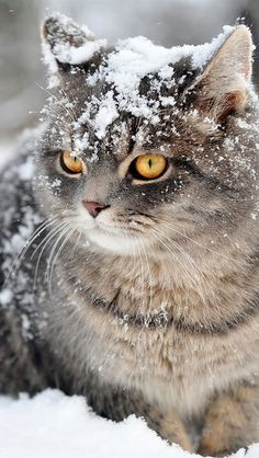 Дикие кошки в снег, снежинки iPhone 5 (5S) (5C) обои - 640x1136