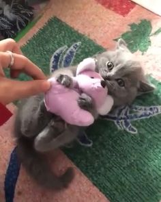 She certainly do love her pinkie toy! What does your baby likes? - She certainly do love her pinkie toy! What does your baby likes? Funny Cute Cats, Cute Cats And Kittens, Cute Funny Animals, Cute Baby Animals, I Love Cats, Kittens Cutest, Funny Shit, Cute Dogs, Funny Animal Memes