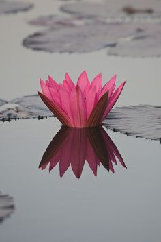 The lotus flower grows in muddy water and rises above the surface to bloom with remarkable beauty. At night the flower closes and sinks underwater, at dawn it rises and opens again.
