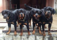 Are you trying to make trouble or something? #dogs #pets #Rottweilers facebook.com/sodoggonefunny