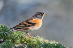 SCIENCE BEATS: Vagrant bachelors could save rare bird
