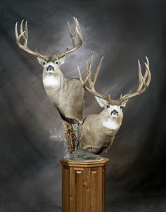 mule deer pedestal mounts - Google Search