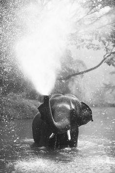 Elefante asiático belleza de baño