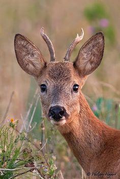 Roe deer (Portrait) by Philippe Hayart on 500px
