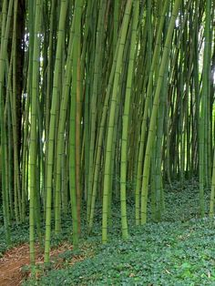 Kenya Info Hub: Bamboo Farming in Kenya 2015
