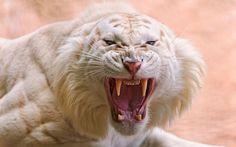 animales-felinos-tigre-enojado-angry-white-tiger-1920x1200.jpg (1600×1000)