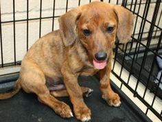 dachshund/australian shepherd mix    aka if wrigley and wyatt had babies! hehe