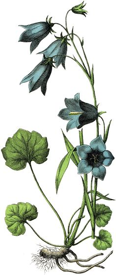 Vintage Illustration The Graphics Fairy: blue flowers - This is a Pretty Vintage Blue Flowers Image! Shown here are some lovely Blue Flowers, with Green Leaves. The flowers have a Bell like shape to them. Blue Flowers Images, Flower Images, Flower Art, Blue Flower Arrangements, Blue Flowers Bouquet, Vintage Flower Tattoo, Vintage Flowers, Botanical Drawings, Botanical Prints